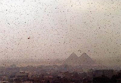ארבה מעל מצרים